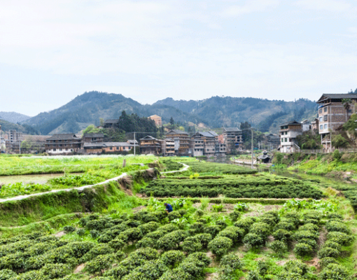tea-plantations-in-chengyang-village-PQHRYJV