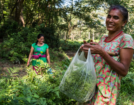 November 2017. Musahar women collecting ferns for personal consumption. The Musahar are a socially marginalized and poor community that relies closely on the forest for subsistence. Bagmara Buffer Zone. Sauraha, Chitwan District, Nepal. Photograph by Jason Houston for USAID